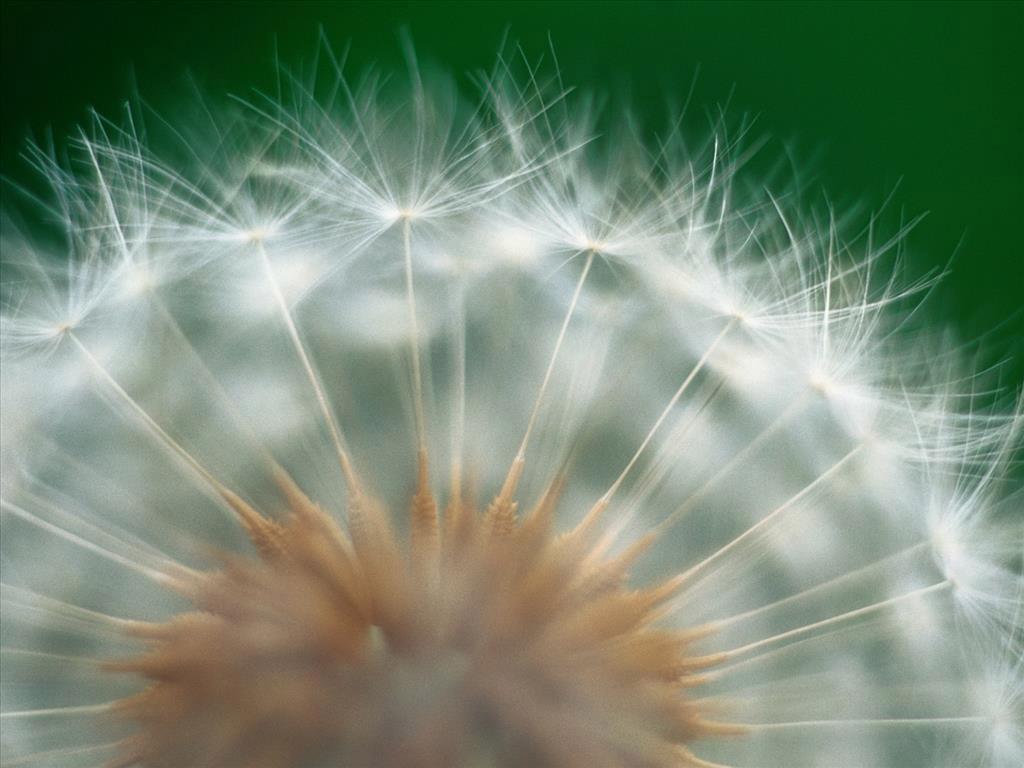 Những bông hoa bồ công anh vàng rực, những chiếc lá dài, xanh thẫm với những chiếc răng cưa nhọn hoắt như những chiếc răng nanh của con sư tử.