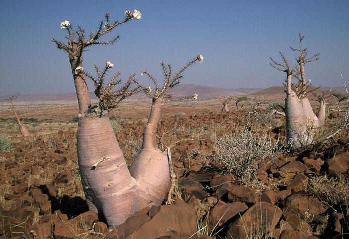 Cây Bottle sinh trưởng tại Namibia và được coi là một trong những loài cây độc nhất trên thế giới.
