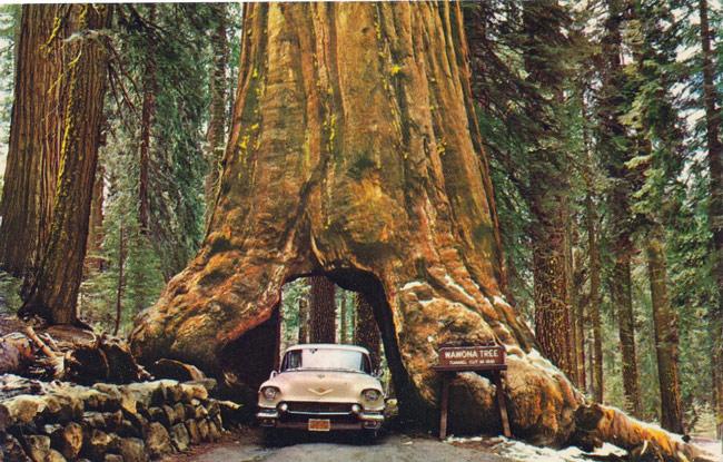 Cây Wawona là tên của một cây tùng bách ở tại rừng Mariposa, thuộc công viên Quốc Gia Yosemite, Mỹ. Thân cây đã được đục xuyên qua tạo thành một đường hầm vào năm 1881 và kể từ đó nó đã trở thành một điểm du lịch nổi tiếng. Cây đã bị đổ năm 1969 do sức nặng của tuyết trên tán cây. Tuổi đời của cái cây này cũng rất đáng ngưỡng mộ, ước tính khoảng 2300 tuổi.