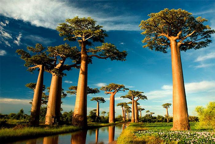 Cây Baobab hình ấm trà có tuổi đời trên 1000 năm tuổi, nhiều cây có chiều cao hơn 80 mét và chu vi thân có thể rộng đến 25 mét.
