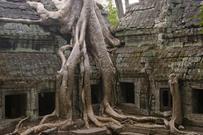 Cây bông gòn ở Ta Prohm,  rễ của cây mọc lung tung xung quanh ngôi đến cổ càng làm tăng vẻ cổ kính và kì lạ.