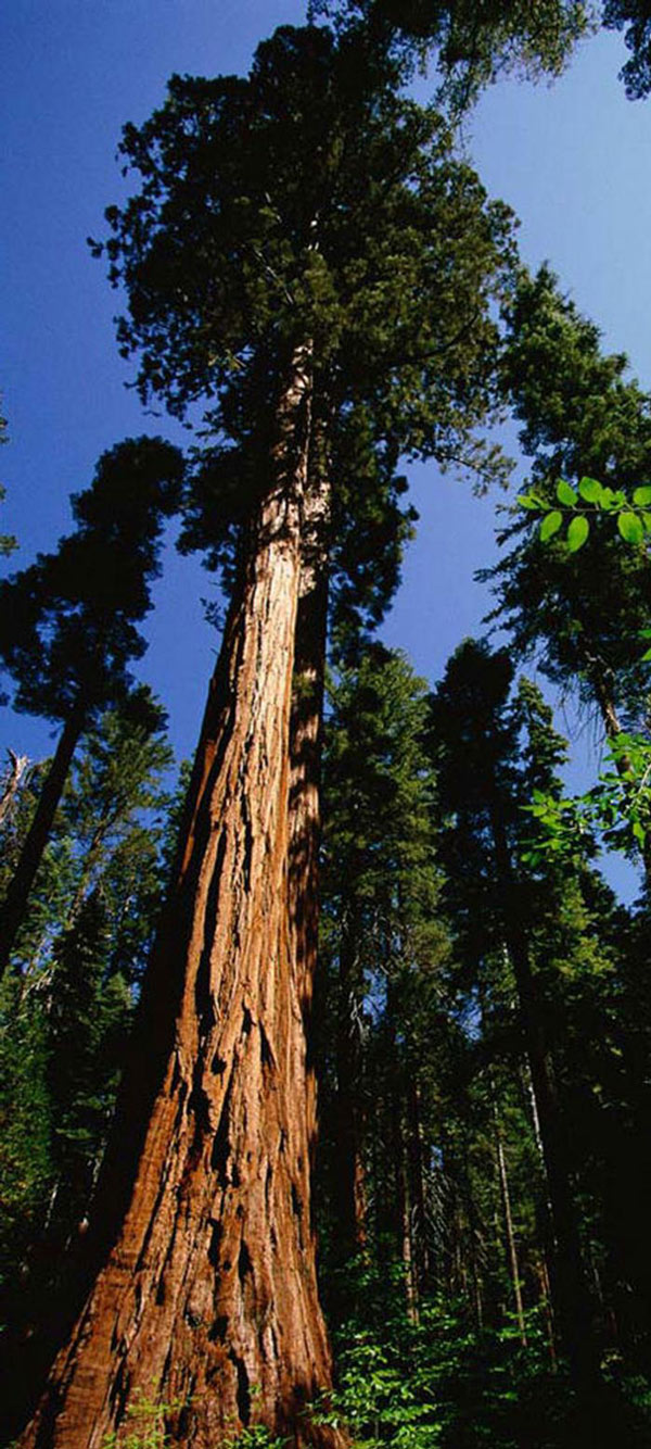 Hyperion là một cây bách tùng nằm ở vùng bờ biển California và là cây cao nhất trên trái đất với chiều cao 115,5 mét và đường kính gần 9 mét.