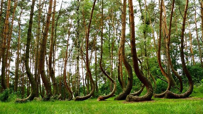 Bạn sẽ rất ngạc nhiên trước hình ảnh cây cong này. Tất cả có khoảng 400 cây như vậy ở gần Gryfino, Tây Ba Lan.