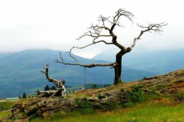 Cây Burmis đã chết vào những năm 1970 nhưng cho đến giờ nó vẫn đứng sừng sững và không có dấu hiệu bị mục nát.