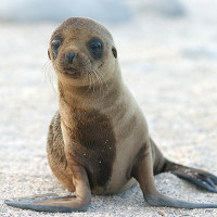Mỹ: Tảo độc nở hoa làm tổn thương não sư tử biển