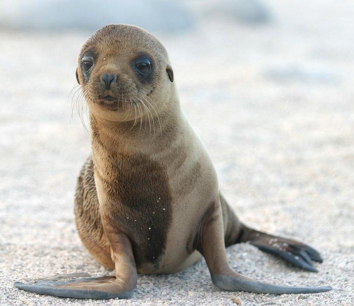 Những con sư tử biển có thể bị chất độc của tảo làm tổn hại não.
