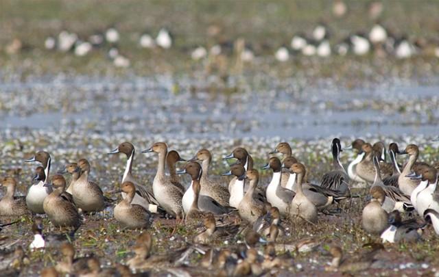 Tại vườn quốc gia Keoladeo có gần 400 loài chim cư trú trong đó những loài có số lượng đông nhất là vịt đuôi nhọn, ngỗng, mồng két, chim cốc, cò trắng.