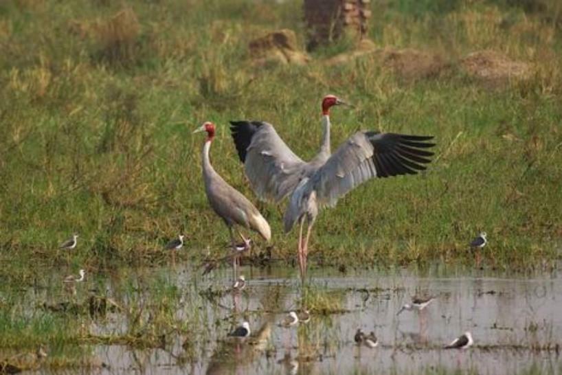 """Chính vì thế vườn quốc gia Keoladeo được coi là """"Thiên đường của các loài chim nước mặn"""" như vịt trời, bồ nông, cuốc, cò, vạc."""