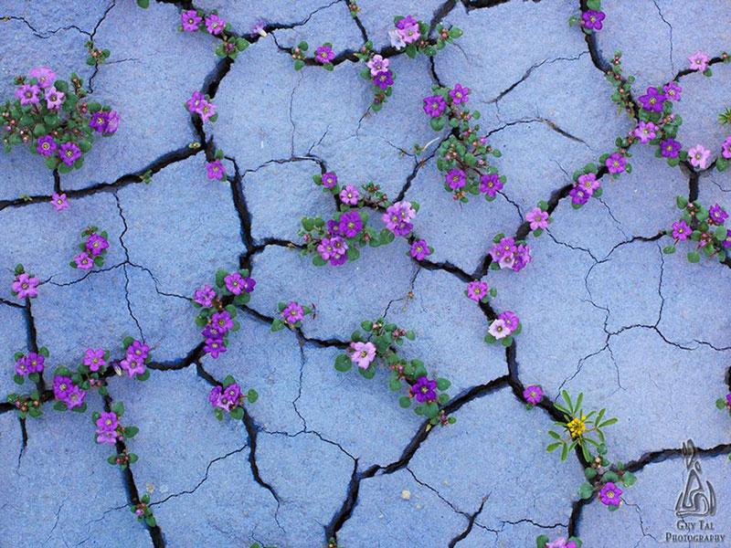 Loài hoa tím có sức sống thật dẻo dai