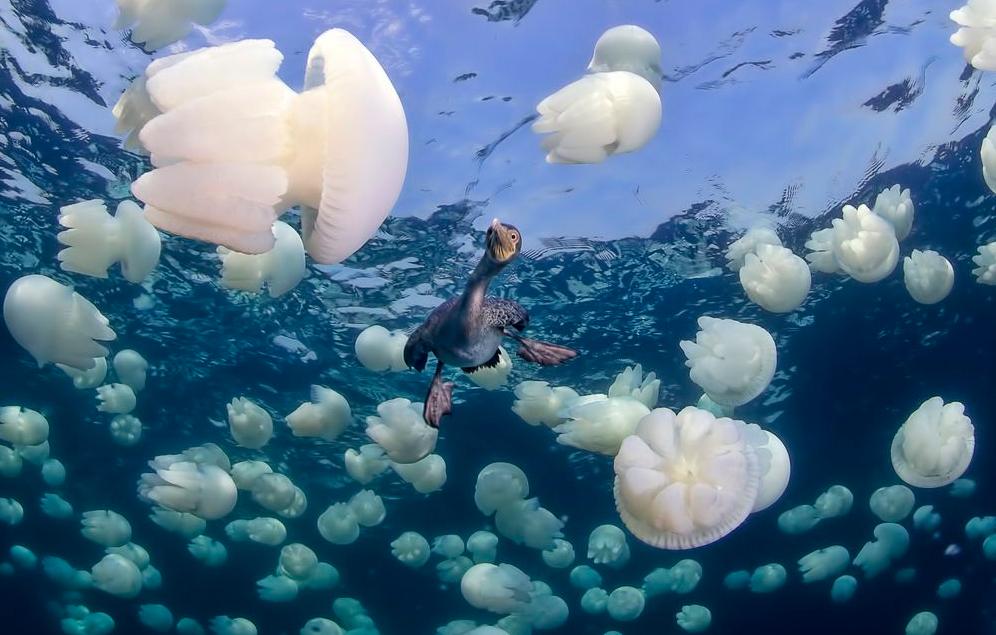 Socotra Cormorant - (Tác giả: Hani Bader). Hình ảnh chú chim Socotra đang săn những con cá ẩn trong đám sứa biển.