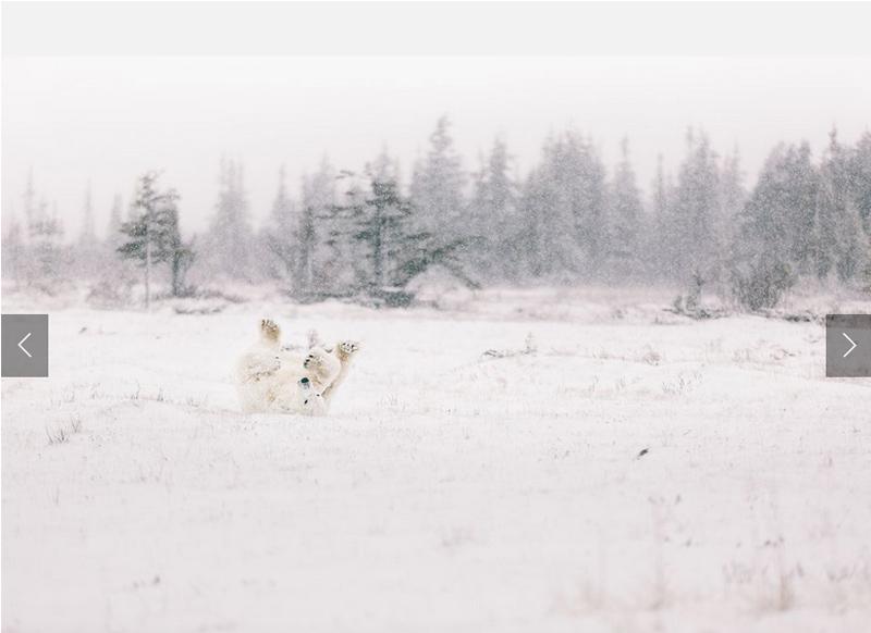 Nghịch tuyết - Tác giả: Jay Siemens. Khoảnh khắc ghi lại chú gấu Bắc Cực vui đùa với tuyết.