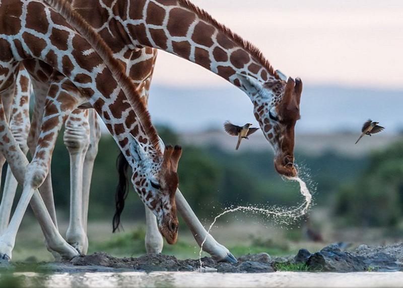 Uống nước - Tác giả: Majed sultan al zaabi. Những chú hươu cao cổ duyên dáng xòe chân trước và cúi đầu xuống để uống nước trông rất đáng yêu qua góc ảnh.