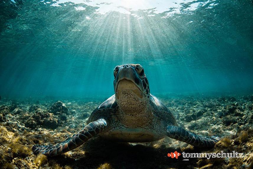 Rùa biển dưới ánh mặt trời - Tác giả: Tommy Schultz.
