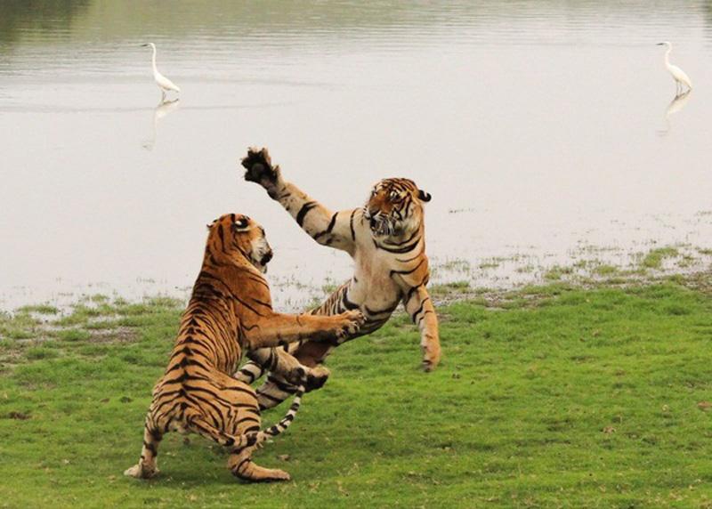 Flying princess - Tác giả: Vedang Vadalkar. Hình ảnh này được ghi lại vào một buổi chiều ở nơi bảo tồn hổ Ranthambore, tại Ấn độ khi chúng đang chơi đùa với nhau ở bên hồ.