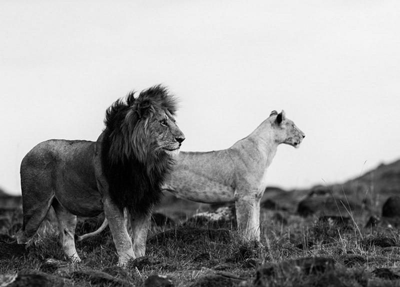 Sư tử đực và sư tử cái - Tác giả: Pekka Jarventaus. Hình ảnh cặp sư tử đang chuẩn bị săn mồi.