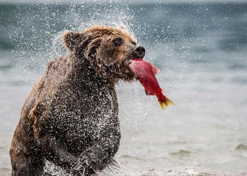 Gấu và cá hồi - Tác giả: Marco Loaldi. Hình ảnh chú gấu chạy dưới sông và bắt cá hồi được nhiếp ảnh gia Marco Loaldi ghi lại vô cùng sống động.