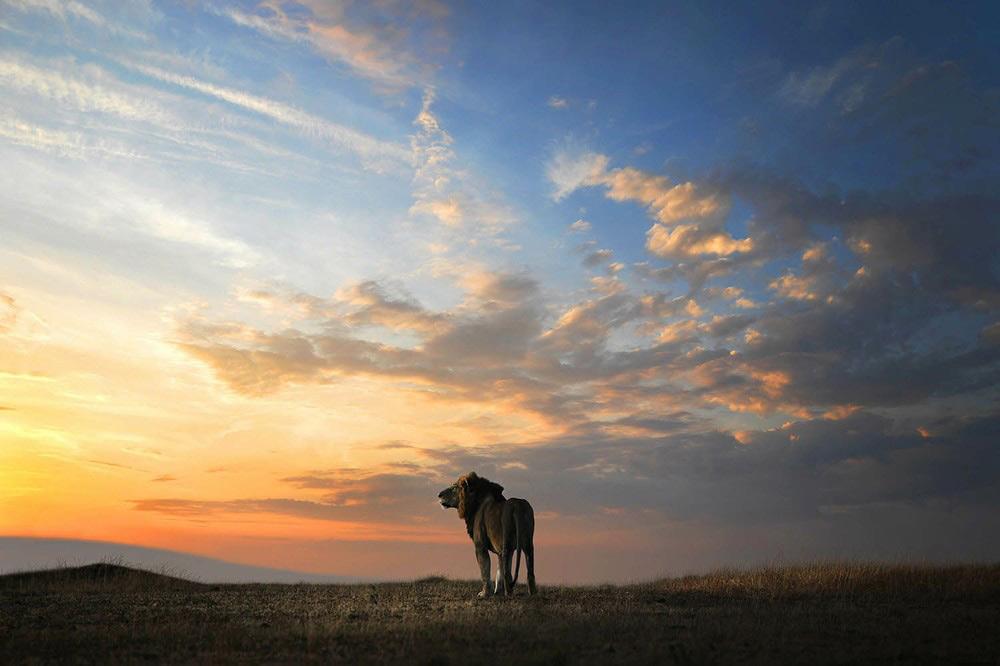 Ánh sáng đầu tiên - Tác giả: Bjorn Persson. Hình ảnh ghi lại chú sư tử đực đón ánh bình minh đầu tiên của ngày mới.