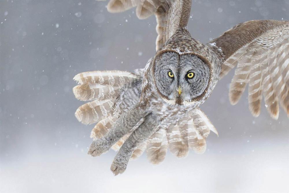 Cú Âu - Á - Tác giả: Milan Zygmunt. Hình ảnh con cú này được chụp tại Cộng hòa Séc trong mùa đông, với kích thước lớn và đôi mắt màu cam tạo nên nét riêng biệt rất lạ.
