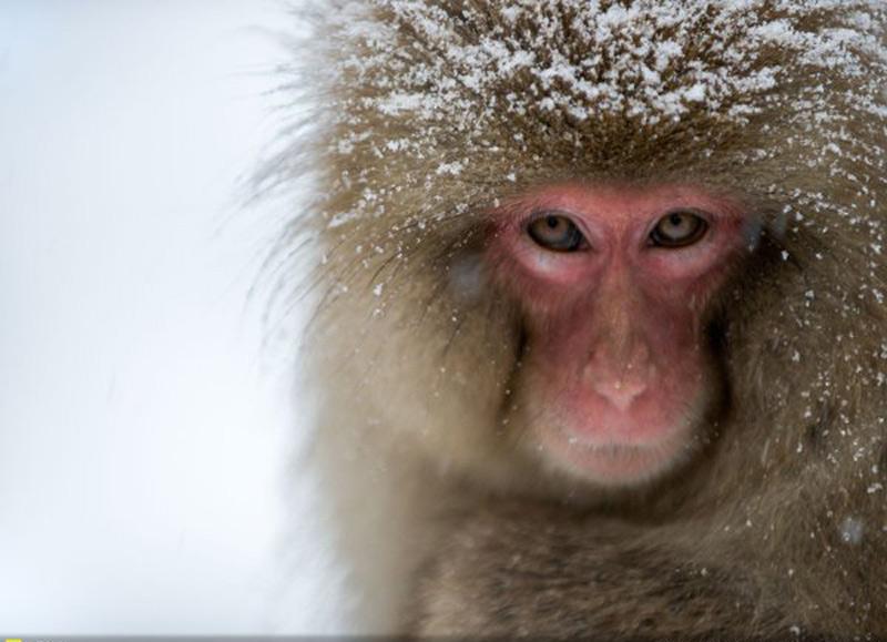 Trở lại, kẻ xâm nhập - Tác giả: Jack Archer. Hình ảnh chú khỉ tuyết Nhật Bản thường hay xuất hiện ở các khu suối nước nóng gần Nagano.