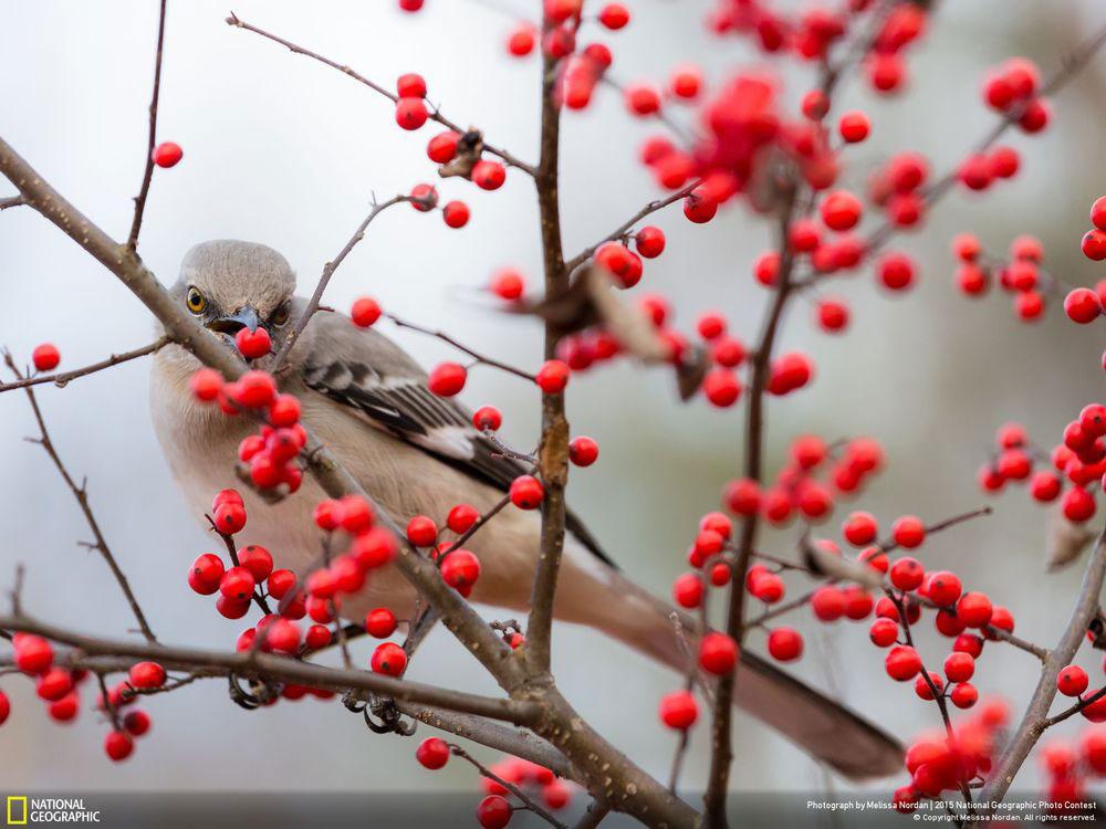 So berry nice to meet you - Tác giả: Melissa Nordan. Hình ảnh chú chim đậu trên cành cây với những quả đỏ mọng thật đẹp.