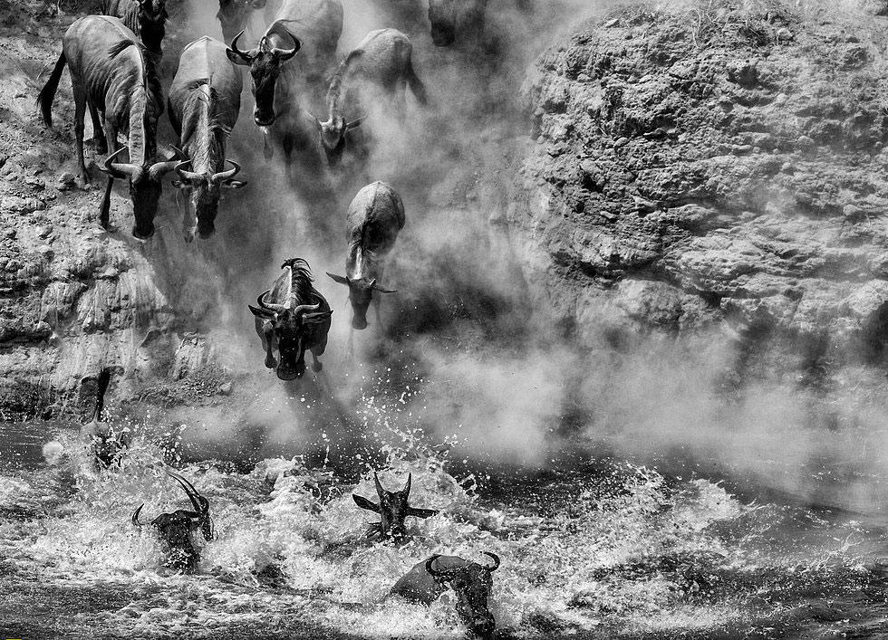 Nhảy xuống sông - Tác giả: Li Dike. Những chú trâu rừng đang nhảy xuống sông để tắm và uống nước.