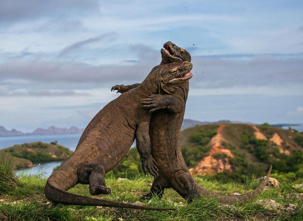 Bức ảnh ghi lại trận chiến kịch liệt giữa hai con thằn lằn Komodo trong mùa giao phối để tranh giành bạn tình tại Indonesia.