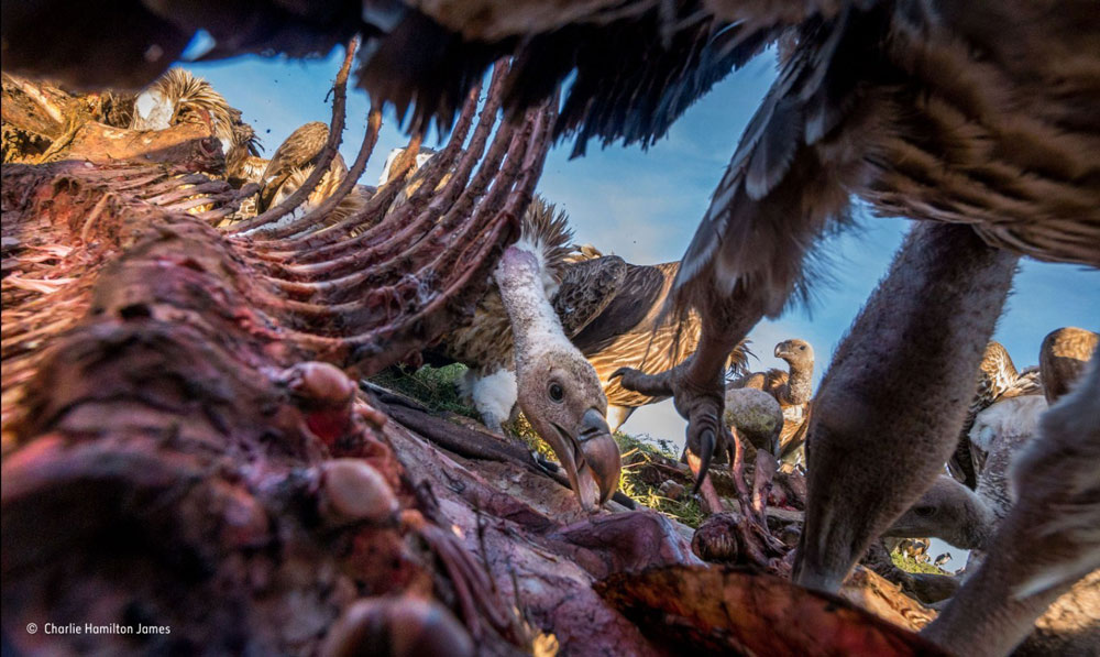 Cảnh đàn kền kền sà xuống rỉa sạch xác ngựa vằn tại vùng đồng bằng Serengeti ở châu Phi