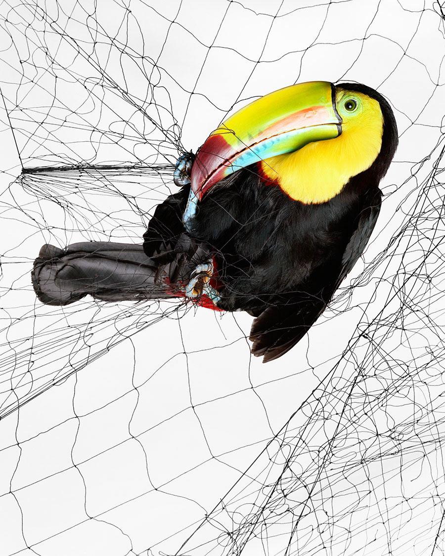 Bức ảnh loài chim tu-căng (Ramphastos sulfuratus) bị mắc kẹt trong bẫy lưới