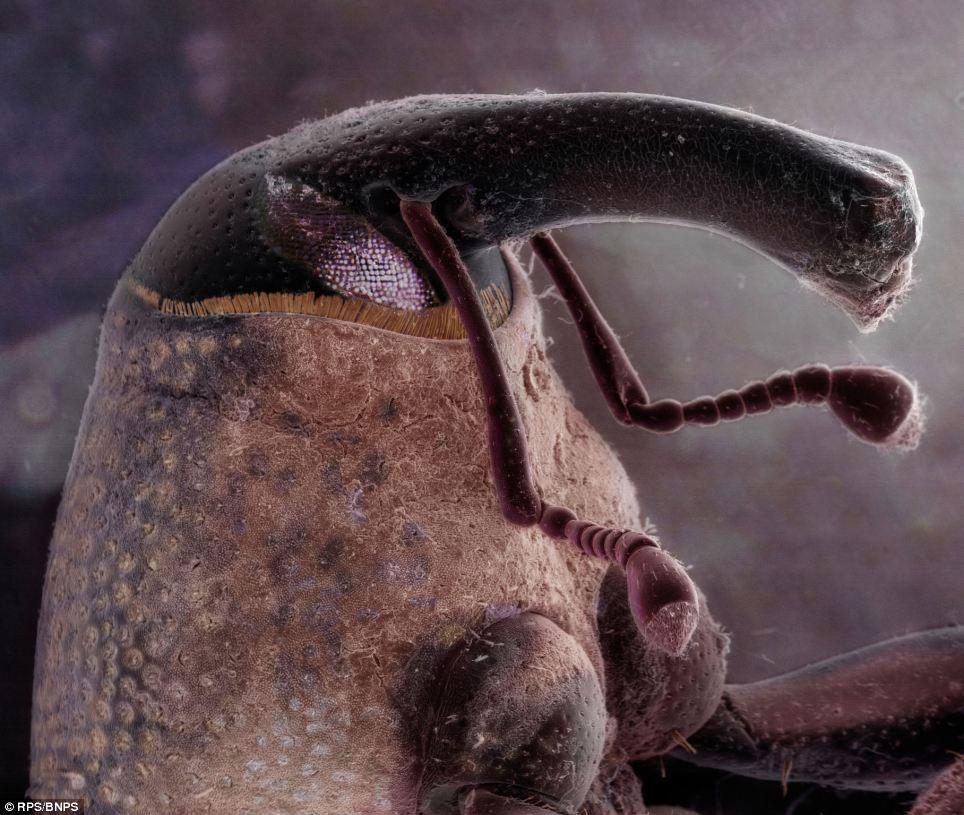 Phần đầu của loài mọt quả bông (tên khoa học Anthonomus grandis) chỉ có kích cỡ bề ngang vài milimet được chụp phóng đại lên bằng kính hiển vi điện tử quét.