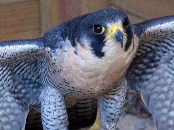 Chim cắt lớn – 389km/h.
