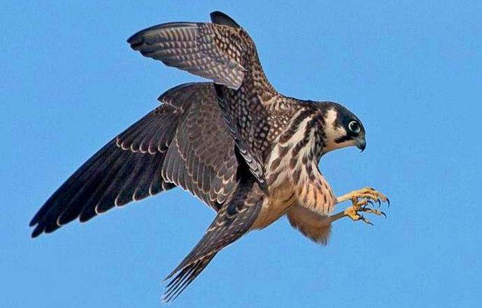 Chim cắt Trung Quốc – 161km/h.