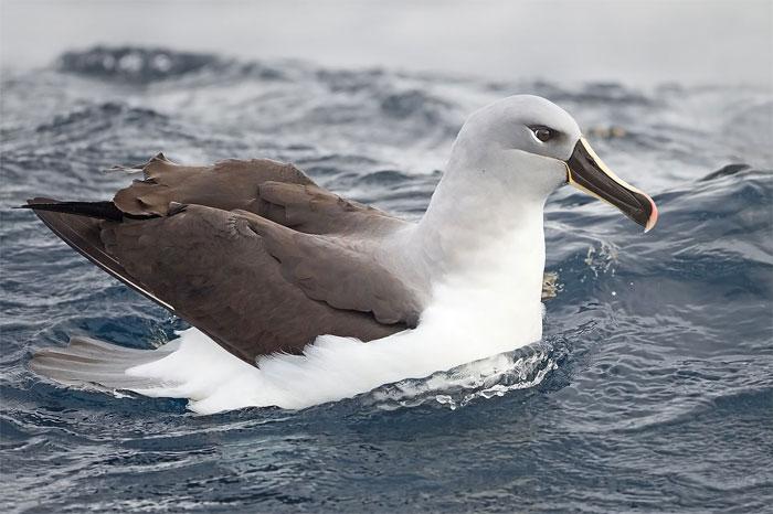 Chim hải âu đầu xám – 127km/h.