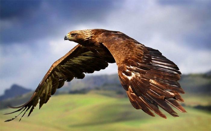 Đại bàng vàng – 321km/h.