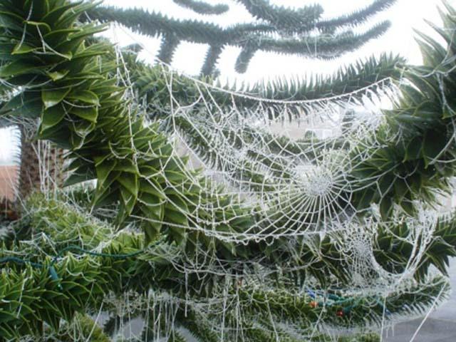 Người dân Ukraine sử dụng mạng nhện để trang trí cho cây thông Giáng sinh và cho rằng, ai là người đầu tiên nhìn thấy mạng nhện trên cây thông vào buổi sáng Giáng sinh thì người ấy sẽ gặp may mắn cả năm.