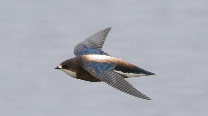 Yến đuôi nhọn họng trắng – 169km/h.