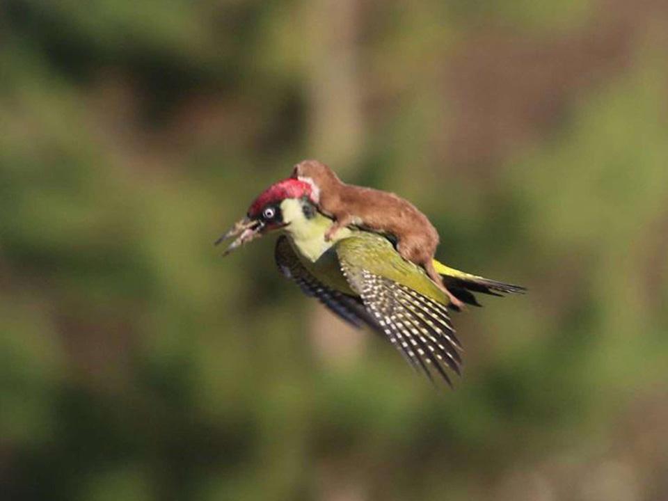 Bức ảnh chụp chú chồn cưỡi trên lưng một con chim gõ kiến đã gây sốt trên internet từ khi được nhiếp ảnh gia Martin Le-May công bố.