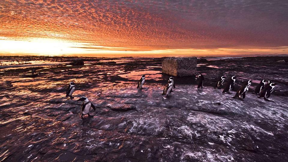 Chim cánh cụt châu Phi