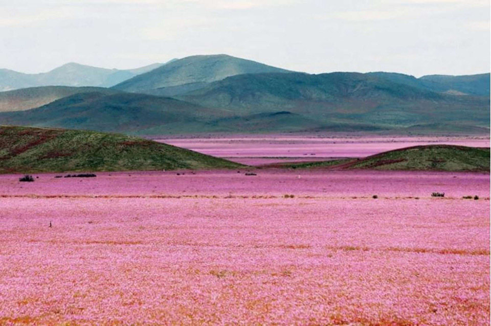 Hoa nở tại một trong những nơi khô nhất trên Trái Đất - Sa mạc Atacama ở Chile thường có rất ít hoặc thậm chí là không có mưa.