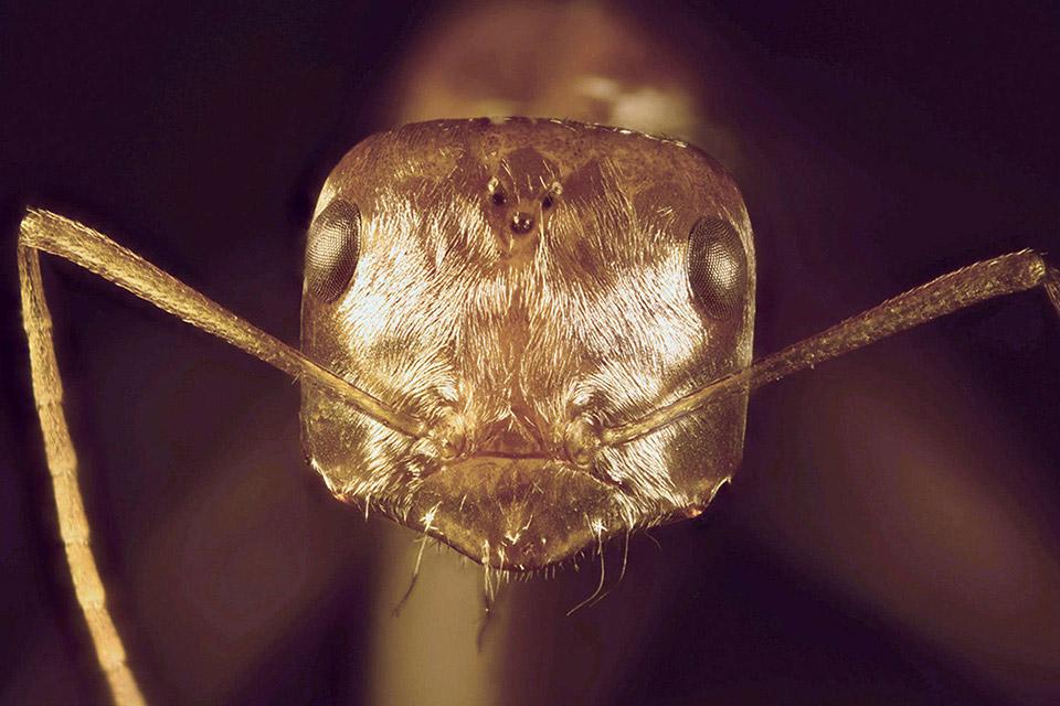 Một con kiến bạc Saharan (Cataglyphis bombycina) có thể đi tìm thức ăn trên cát trong sa mạc với nhiệt độ có thể lên tới 70 độ C nhờ vào một lớp phủ sáng bóng trên người, giúp nó không bị thiêu đốt bởi nhiệt.