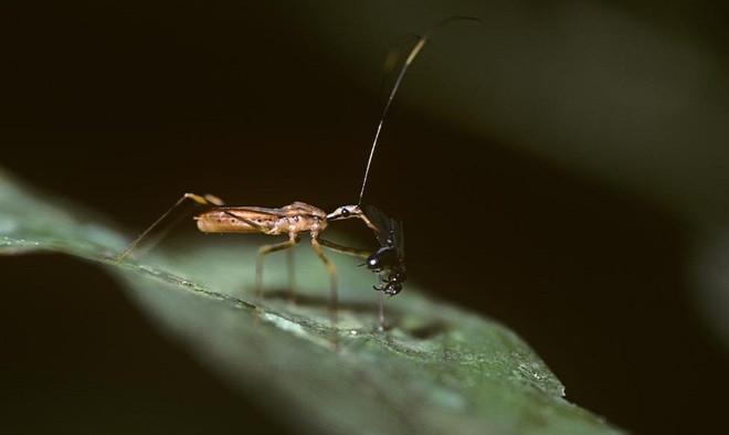 Loài bọ sát thủ này có khả năng ngụy trang, có phương thức tấn công và vũ khí đáng sợ.
