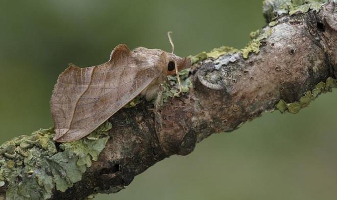 Bướm Calyptra được tìm thấy khắp châu Âu, chủ yếu ăn trái cây và hút mật hoa.
