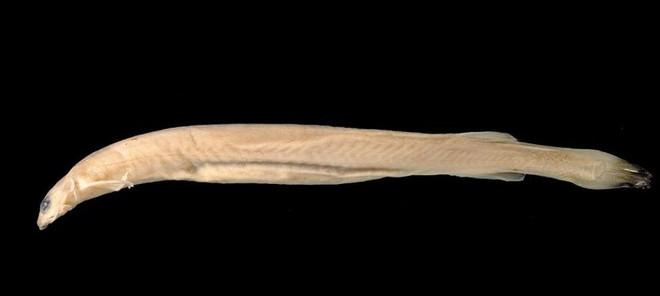 Loài cá da trơn nhỏ bé nhưng phàm ăn tên Caniru có nguồn gốc tại lưu vực sông Amazon, được xem là cơn ác mộng tồi tệ nhất đối với du khách.