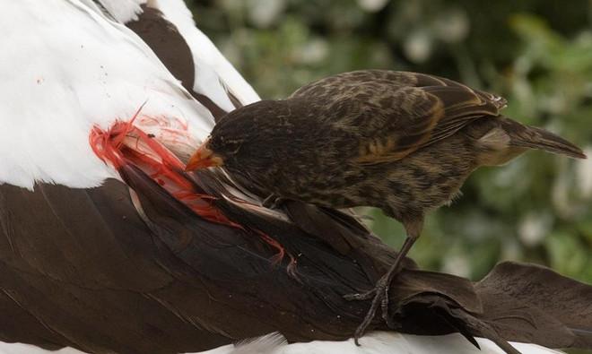 Để có thức ăn, chim sẻ hút máu nhảy lên thân một con chim lớn hơn như ó biển chân xanh và mổ vào lông đuôi cho đến khi máu chảy ướt đẫm.
