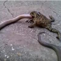 Video: Ếch ăn tươi nuốt sống rắn