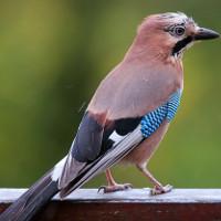 Tại sao chim không bạc lông khi già?