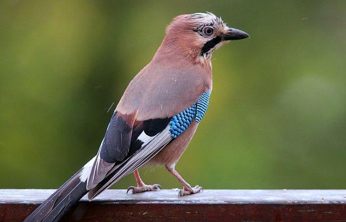 Chim không bị bạc lông theo thời gian.