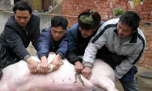 Chú heo được đem đi làm thịt.