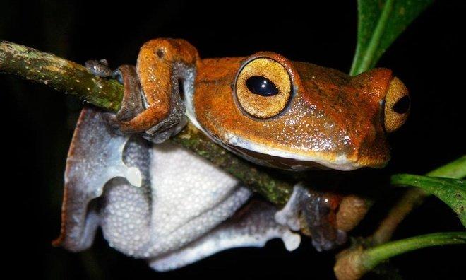 Năm 2010, nhà sinh vật học Jodi Rowley đến khu rừng mù sương ở miền nam Việt Nam và phát hiện một loài ếch bay hoàn toàn mới.