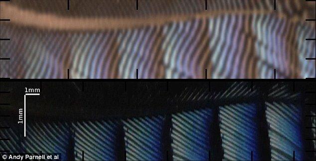 Cấu trúc của một sợi tơ của lông có thể được thay đổi theo chiều dài của sợi lông, tạo ra nhều màu sắc óng ánh.