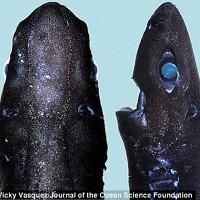 Lần đầu tiên xuất hiện loài cá mập Ninja có khả năng phát sáng